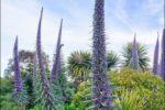Echium pininana, vzgoja iz semena